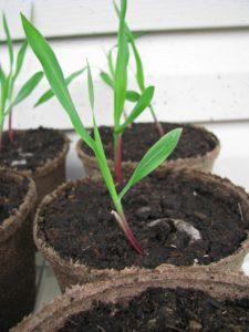 Förkultivera och odla av Fröken Turkos