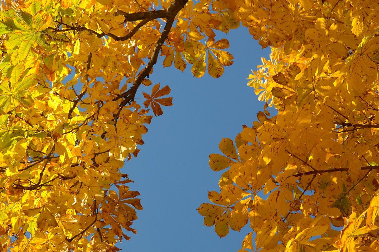 Kastanjeträd