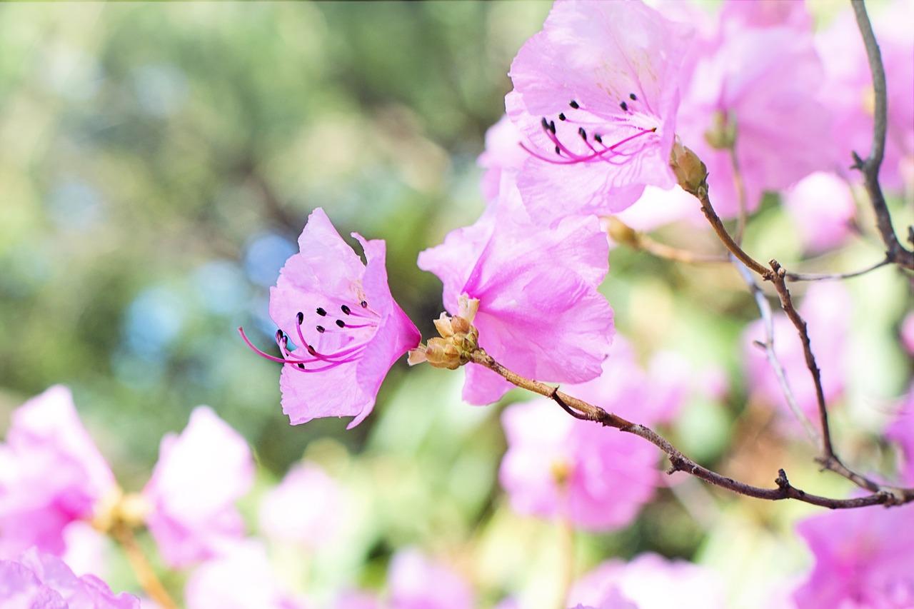 Färgen rosa