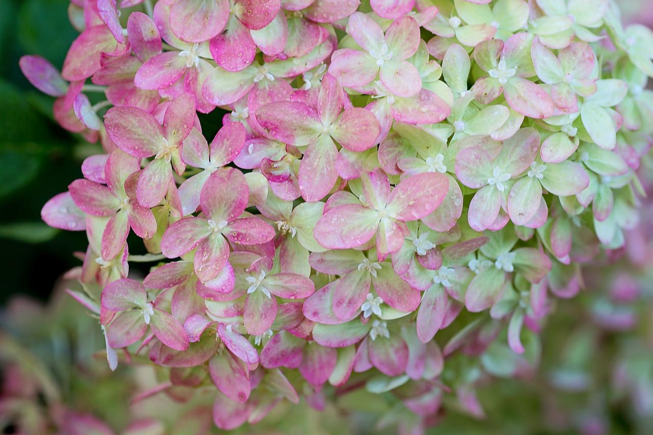 Färg rosa