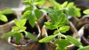Odla – Så här lyckas du med din förkultivering