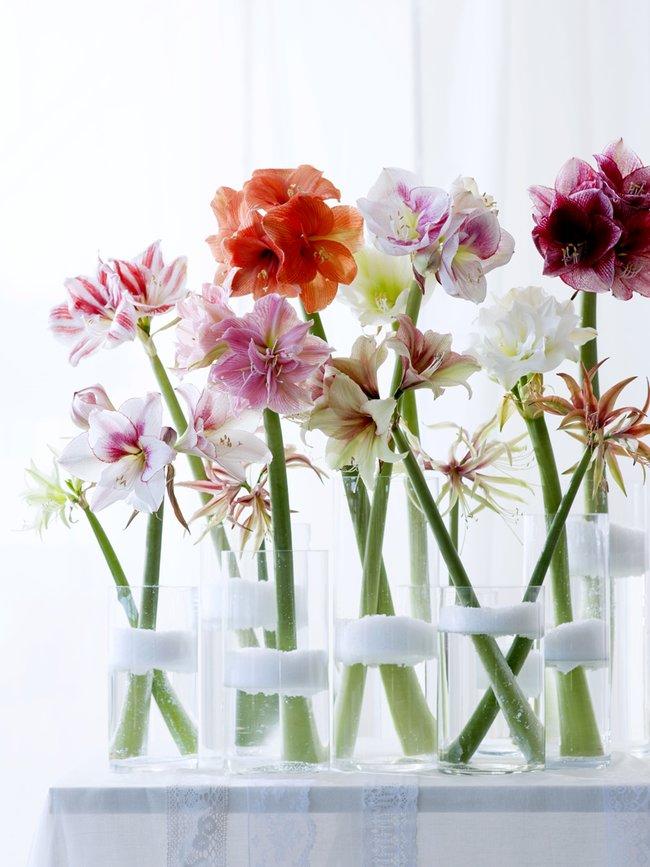 Amaryllis - Julens vackraste blomma