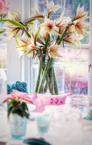 Amaryllis – Julens vackraste blomma