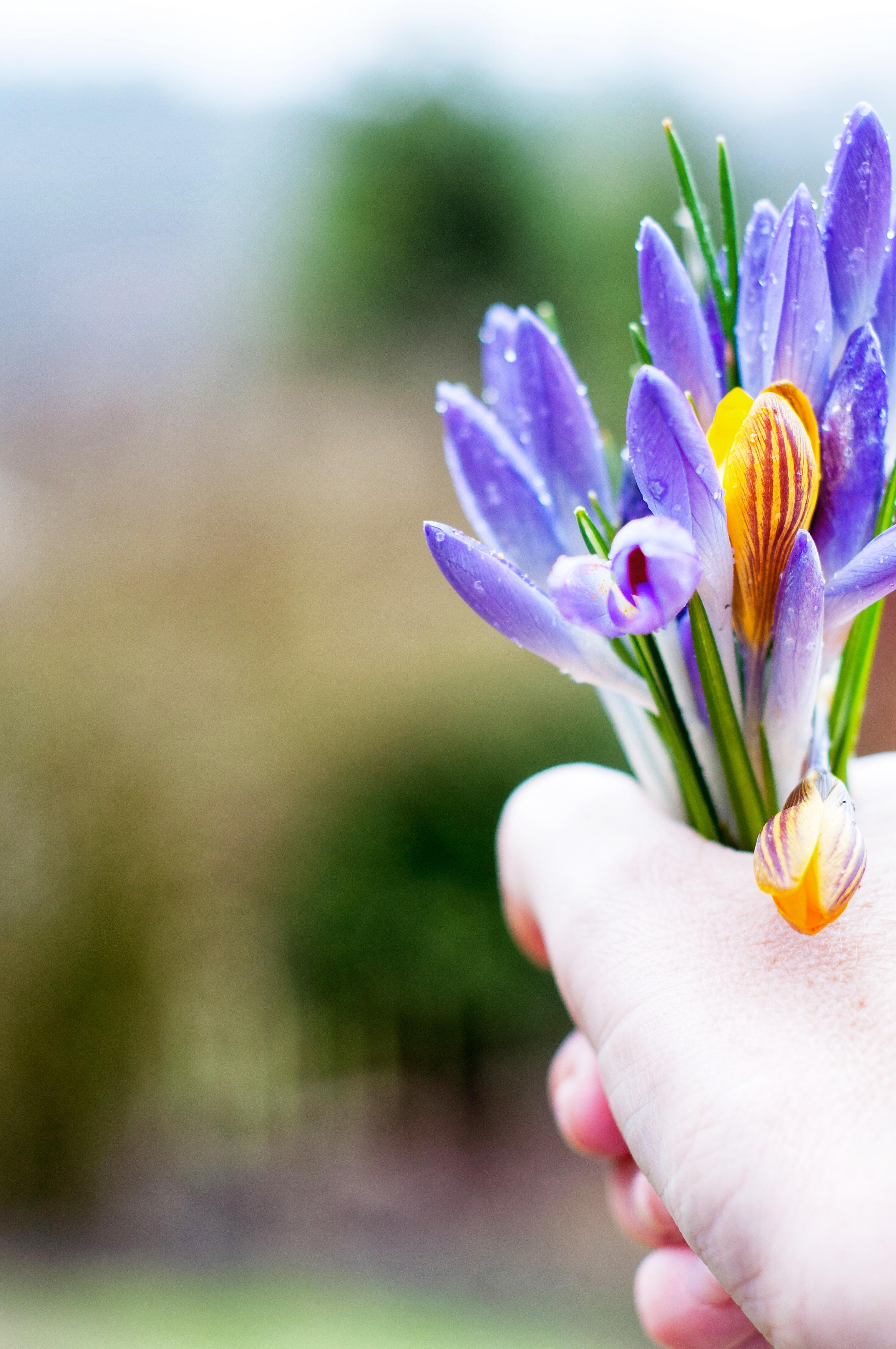 Älskade lilla krokus - Fröken Turkos