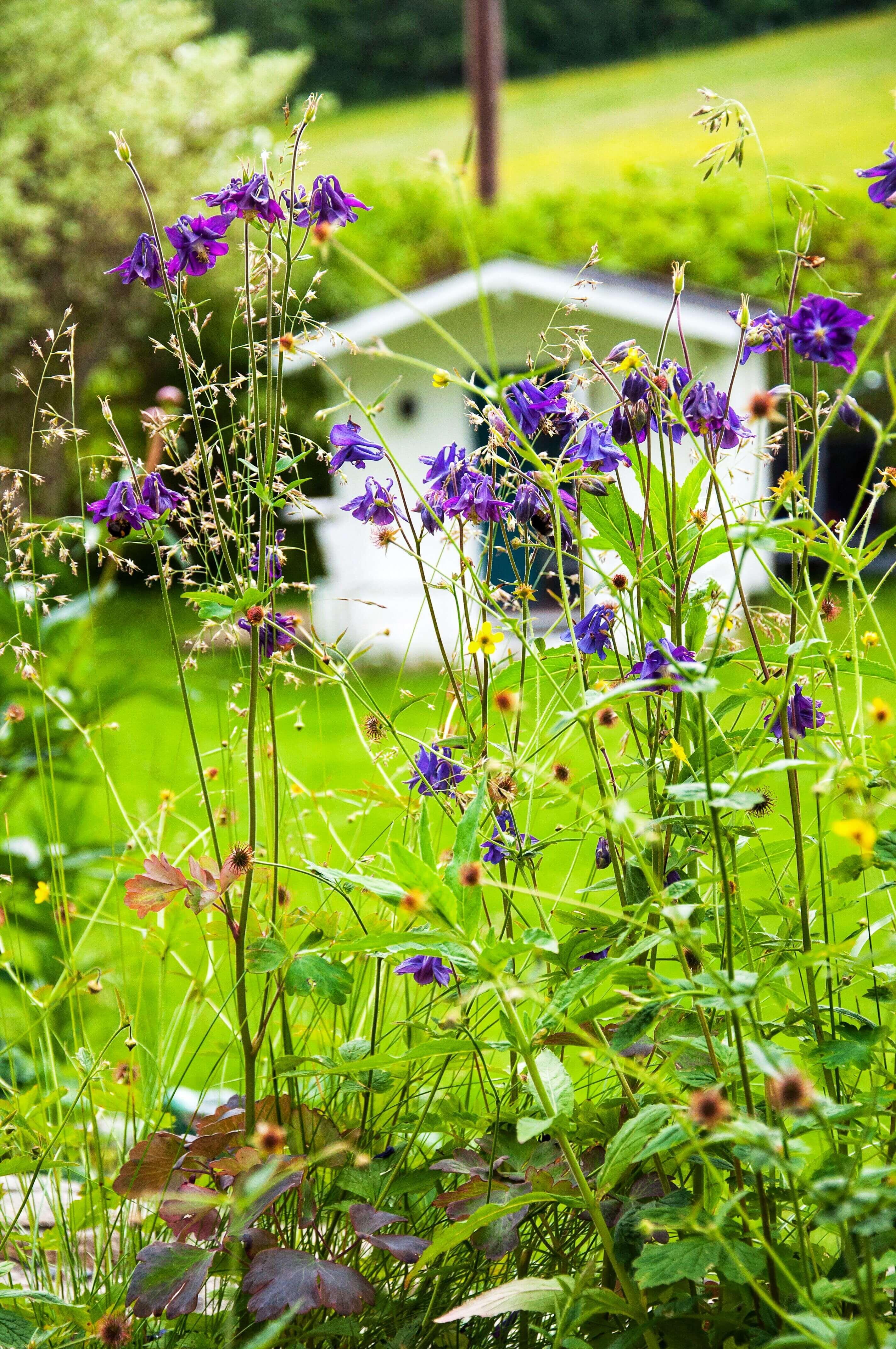 Akleja - Trädgård - Nilssons plantskola - blommor och bin, Leonor Juhl K - Fröken Turkos