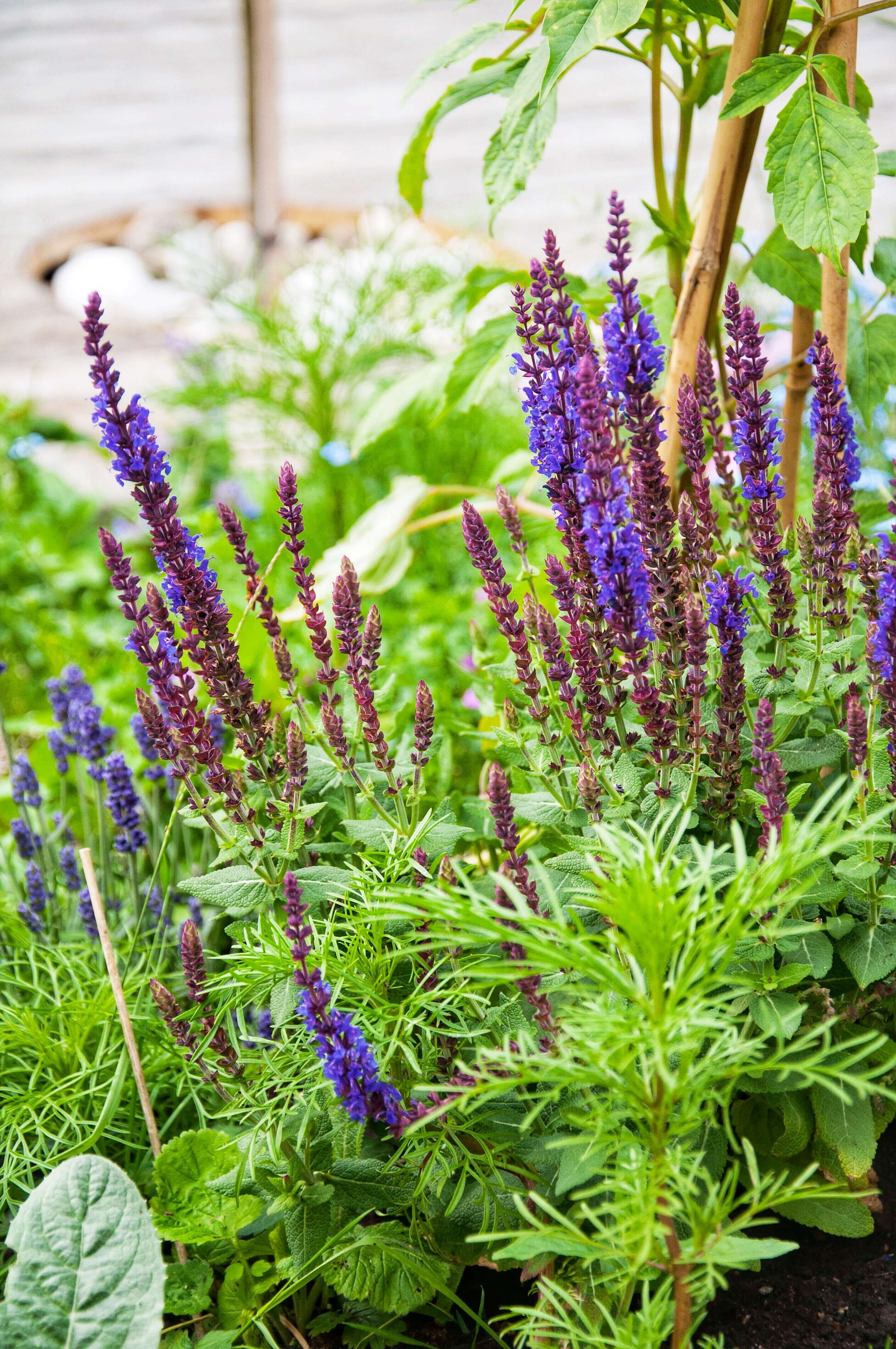 Stäppsalvia - Trädgård - Nilssons plantskola - blommor och bin, Leonor Juhl K - Fröken Turkos