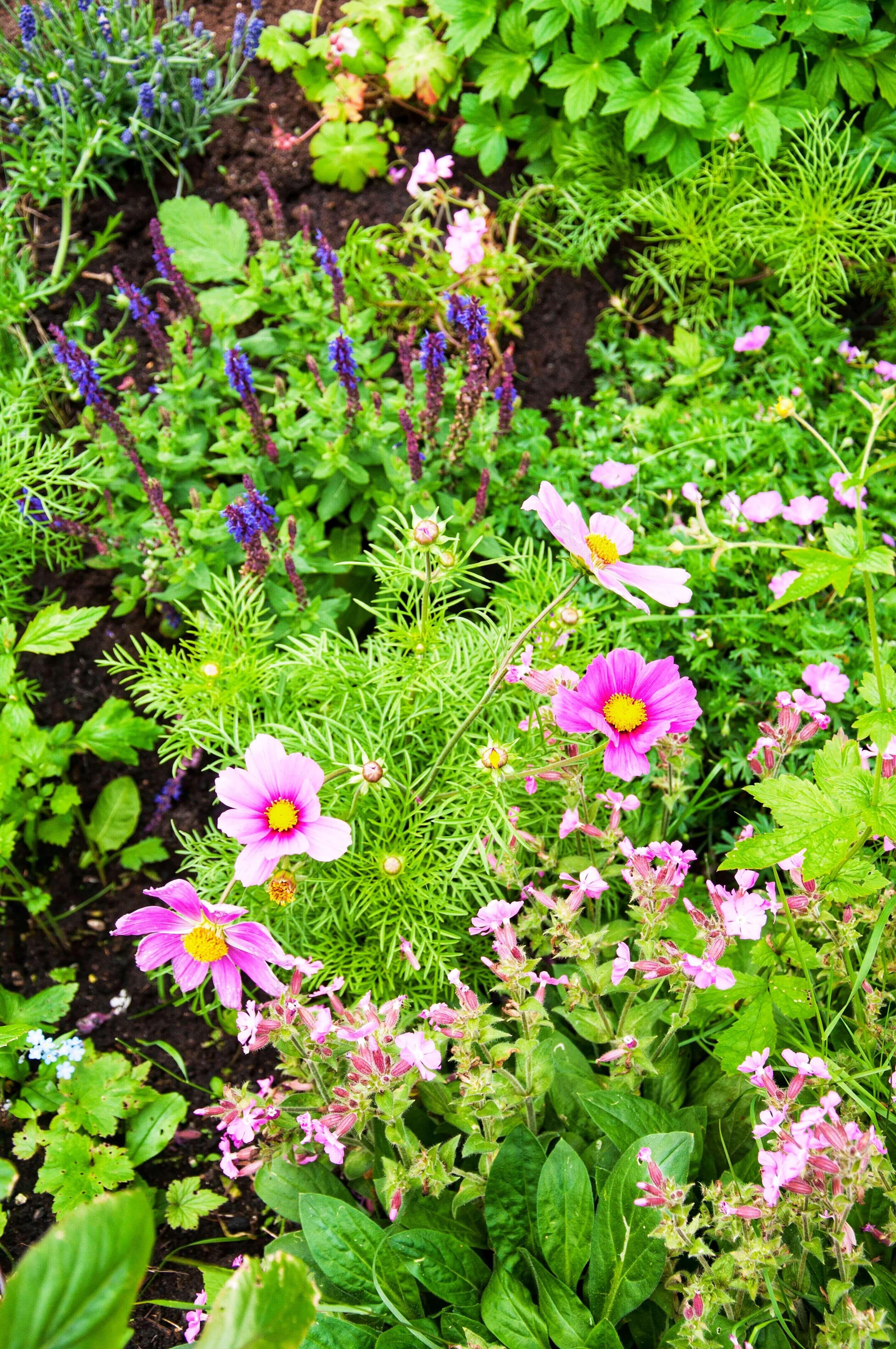 Rosenskära - Trädgård - Nilssons plantskola - blommor och bin, Leonor Juhl K - Fröken Turkos