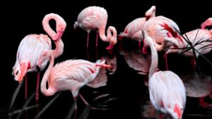Flamingos – 10 snabba fakta